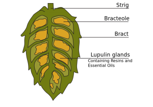 Hops brewed beers can support your oral health.